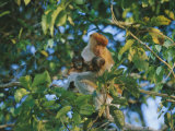 A Proboscis Monkey with Her Twin Babies Photographic Print by Tim Laman