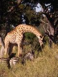 Giraffe and Zebra in Safari, Inner Delta, Pom Pom Camp Okavango Delta, Ngamiland, Botswana Photographic Print by John Borthwick