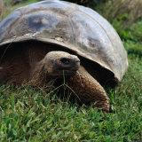 The Galapagos Tortoise is the Largest Living Tortoise, Galapagos, Ecuador Fotoprint van Wes Walker