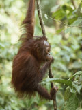 A Orangutan Juvenile Climbs and Hangs on a Slender Tree Trunk Photographic Print by Tim Laman