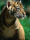 Sumatran Tiger Cub at Taronga Zoo, Sydney, Australia Photographic Print by Dennis Jones