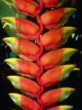 Detail of Hawaiian Heliconia (Heliconia Caribaea), Hilo, USA Photographic Print by John Elk III