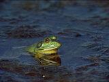 Bullfrog Photographic Print by Medford Taylor