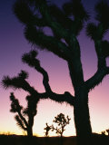 Silhouetted Joshua Trees at Sunset Photographic Print by Rich Reid