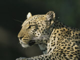 A Leopard, Panthera Pardus, Rests in a Sunny Spot Photographic Print by Beverly Joubert