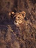 African Lion Cub, Panthera Leo Fotografie-Druck von D. Robert Franz