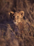 African Lion Cub, Panthera Leo Stampa fotografica di Franz, D. Robert