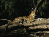 A Leopard, Panthera Pardus, Rests on a Fallen Tree Photographic Print by Beverly Joubert