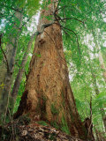 Eucalypt and Sassafras Trees Tarkine, Tasmania, Australia Photographic Print by Rob Blakers