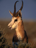 Springbok, Etosha National Park,Kunene, Namibia Photographic Print by Carol Polich