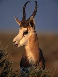 Springbok, Etosha National Park,Kunene, Namibia Photographic Print by Carol Polich