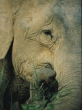 An Asian Elephant Brings a Trunkful of Grass to its Mouth Photographic Print by Tim Laman