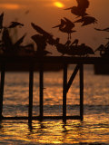 Pelicans Congregate on Pier at Chorro Beach, Arica, Tarapaca, Chile Photographic Print by Paul Kennedy