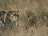 A Leopard on the Prowl in Masai Mara National Reserve Photographic Print by Roy Toft