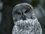 The Head and Shoulders of a Great Gray Owl, Strix Nebulosa Photographic Print by Tom Murphy
