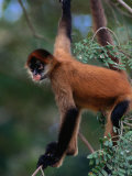 Young Spider Monkey Hanging from Tree in the Curu Biological Reserve, San Jose, Costa Rica Photographic Print by Ralph Lee Hopkins