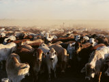 Brahman Cattle are Herded into a Pen on a Simpson Desert Cattle Station Photographic Print by Medford Taylor