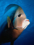 Gray Angelfish, Close-up Photographic Print by Mike Mesgleski