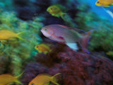 A Colorful Anthias Fish Swims About a Reef Photographic Print by Tim Laman