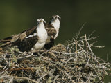 Couple de balbuzards dans leur nid (Pandion haliaetus), Lovers Keys, Floride Photographie par Roy Toft