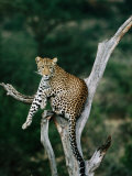 Leopard (Panthera Pardus) in Tree, Looking at Camera, Samburu National Reserve, Kenya Photographic Print by David Tipling