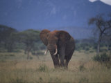 African Elephant on the Veldt Photographie par Dr. Maurice G. Hornocker
