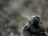 Tiger Nose and Whiskers, Qinhuangdao Zoo, Hebei Province, China Photographic Print by Raymond Gehman