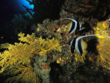 A Pair of Moorish Idols Swim Through a Reef Photographic Print by Tim Laman