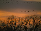 Sandhill Cranes Fly in Formation over Silhouetted Trees at Dusk Photographic Print by Joel Sartore
