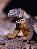 Galapagos Land Iguana (Conolophus Subcristatus), South Plaza Island, Ecuador Photographic Print by Richard I'Anson