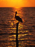 Bird on a Post at Sunset, Caye Caulker, Belize Photographic Print by Doug McKinlay