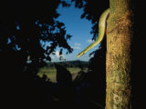 A Green Tree Boa on the Trunk of a Tree Near the Tuichi River Photographic Print by Joel Sartore