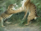 Two Fighting Sumatran Tigers in Blurred Motion Photographic Print by Jason Edwards