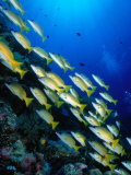 School of Blue Stripe Snappers (Lutjanus Kasmira) at Reef, Palau, Palau Photographic Print by Casey Mahaney