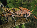 Grasshopper Photographic Print by George Grall