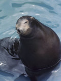 A Captive Seal in an Aquarium with a Serene Looking Face Photographic Print by Medford Taylor