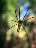 Black and Yellow Spider, Bago, Myanmar (Burma) Photographic Print by Anders Blomqvist