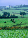 Milking Cows in Paddock, United Kingdom Photographic Print by Oliver Strewe