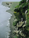 Thick-Billed Murres Roost on a Nesting Cliff on St. Paul Island Photographie par Joel Sartore