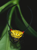 A Close View of a Spiny-Backed Spider, Gasteracantha Species Photographic Print by Tim Laman
