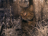 Close View of a Tabby Cat in a Frost-Covered Field,This is the Photographers Cat Photographic Print by Medford Taylor