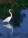 Great Egret (Ardea Alba), Kakadu National Park, Australia Photographic Print by Mitch Reardon