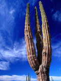 Cardon Cactus Pachycereus Pringlei, World's Tallest Species of Cactus, Endemic to Baja California Photographic Print by Brent Winebrenner