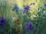 An Attwaters Greater Prairie Chick Surrounded by Wildflowers Papier Photo par Joel Sartore