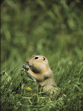 A Ground Squirrel Eats Wildflowers in Riding Mountain National Park Photographic Print by Medford Taylor