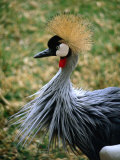 Portrait of Crowned Crane (Balearica Regulorum Gibbericeps), South Africa Photographic Print by Ariadne Van Zandbergen