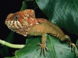 Helmeted Iguana Fotografie-Druck von George Grall