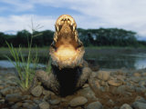 A Black Caiman Opens its Mouth Wide as a Warning Not to Come Closer Photographic Print by Joel Sartore