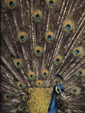 Male Peacock with Plummage Displayed Photographic Print by Medford Taylor