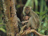 Mother and Baby Monkey Sit on a Tree Limb Photographic Print by Tim Laman